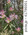 シャクナゲ 石楠花 石南花の写真 41796001