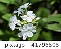 フロックス クサキョウチクトウ ハナシノブ科の写真 41796505