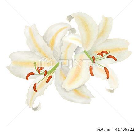 二輪の百合の花 41796522