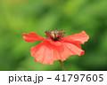 ポピー 花 植物の写真 41797605