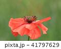 ポピー 花 植物の写真 41797629