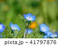 ネモフィラ 花 瑠璃唐草の写真 41797876