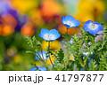 ネモフィラ 花 瑠璃唐草の写真 41797877