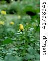 黄色のバラ 41798945