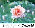 綺麗なピンクのバラ 41798946