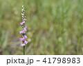 ネジバナ 捩花 モジズリの写真 41798983
