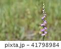 ネジバナ 捩花 モジズリの写真 41798984