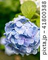 紫陽花 41800388