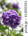 紫陽花 41800391