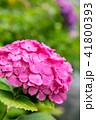 紫陽花 41800393