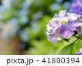 紫陽花 41800394