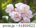 シンビジウム 蘭 花の写真 41800622