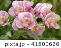 シンビジウム 蘭 花の写真 41800626