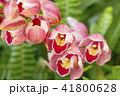 シンビジウム 蘭 花の写真 41800628