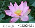 ピンク 植物 蓮の写真 41802481
