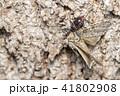 ヨコヅナサシガメ 昆虫 虫の写真 41802908