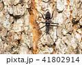 ヨコヅナサシガメ 昆虫 虫の写真 41802914