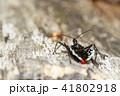 ヨコヅナサシガメ 昆虫 虫の写真 41802918