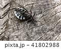ヨコヅナサシガメ 昆虫 虫の写真 41802988