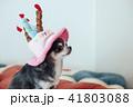 犬 チワワ 誕生日の写真 41803088