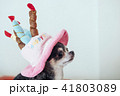 犬 チワワ 誕生日の写真 41803089