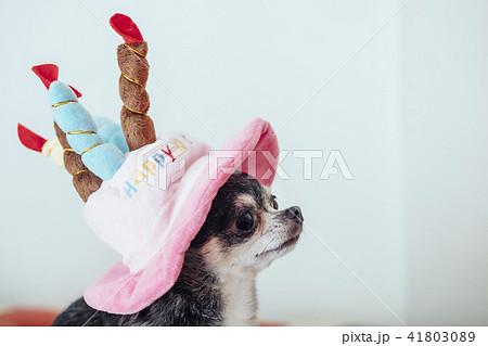 誕生日ケーキの帽子をかぶっている犬の顔/チワワ 41803089