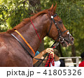 Portrait of a thoroughbred horse. 41805326