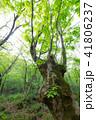 木 樹木 森林の写真 41806237