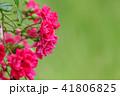 バラ 花 薔薇の写真 41806825