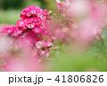 バラ 花 薔薇の写真 41806826