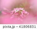 バラ 花 薔薇の写真 41806831