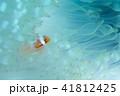 イソギンチャク 魚 海水魚の写真 41812425