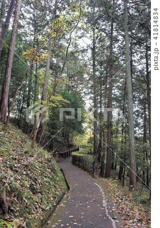 群馬県の田舎の森の道を散歩する、杉が茂る林 41814834