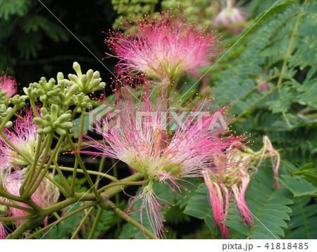 ネムノキの花の写真が撮れました 41818485