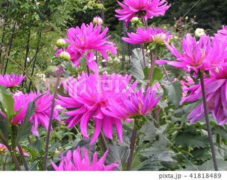 セミカクタスダリアの桃色の花 41818489