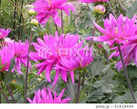 セミカクタスダリアの桃色の花 41818494
