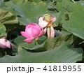 千葉公園のオオガハスの桃色の蕾 41819955