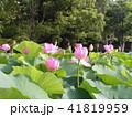千葉公園のオオガハスの桃色の花と蕾 41819959