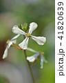 ルッコラの花 41820639