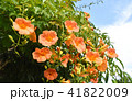 ノウゼンカズラ 凌霄花 花の写真 41822009