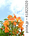 ノウゼンカズラ 凌霄花 花の写真 41822020