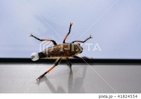 昆虫イメージ素材、お尻に綿のような白い毛、シオヤアブのオス 41824554
