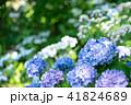 青紫色のアジサイと初夏の日差し 41824689