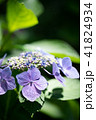 花 アジサイ ガクアジサイの写真 41824934