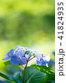 植物 花 アジサイの写真 41824935