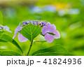植物 花 アジサイの写真 41824936