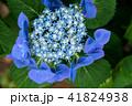 植物 花 アジサイの写真 41824938
