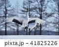 タンチョウ 鶴 鳥の写真 41825226