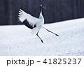 鶴 鳥 タンチョウの写真 41825237