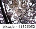 桜 41826052